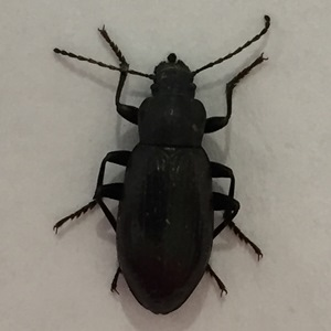 Darlking Beetle