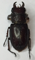 Redish-brown Stag Beetle