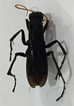 Spider Wasp -  Pompilidae_1