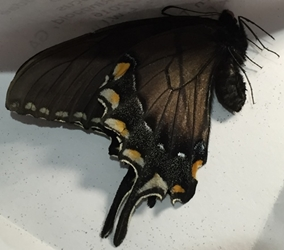 Tiger Swallowtail [dark form]