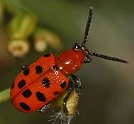 Twelve-spotted Asparagus Beetle