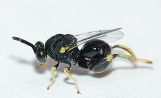 Clover Seed Chalcid Wasp