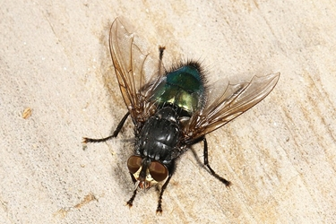 Shiny Blue Bottle Fly