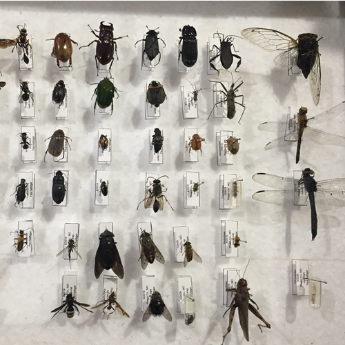 Insect collection for in and around Oklahoma