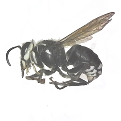 Bald-faced Hornet Bald-faced Hornet, Dried insect specimen, vespidae, Dolichovesula maculata