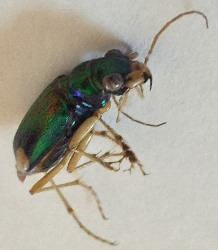 Carolina Tiger Beetle