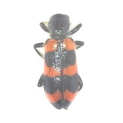 Ornate Checkered Flower Beetle