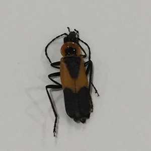 Colorado Soldier Beetle