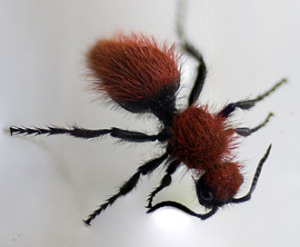 Cow Killer Velvet Ant