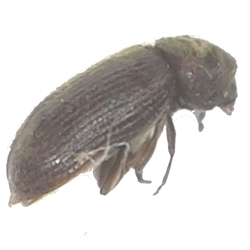 Death-watch Beetle