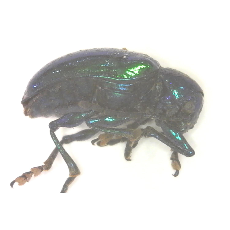 Dogbane Beetle #Chrysochus auratus