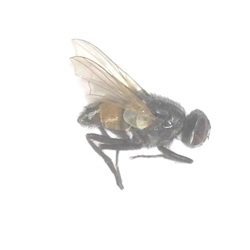 Face Fly - Musca autumnalis