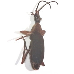 False Bombardier Beetle