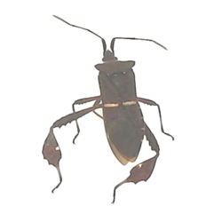 Leaf-footed Bug - Leptoglossus sp.
