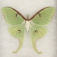 Luna Moth luna moth, actiac luna, butterfly collection, moth insect collection, insects caught locally for school project, insects for science Olympiad