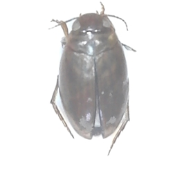 Predaceous Diving Beetle - Coelambus nubilus