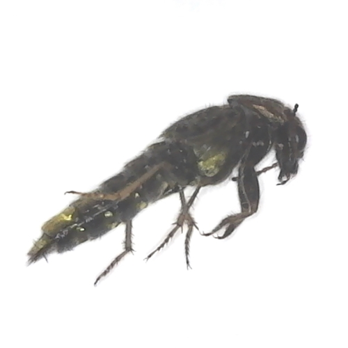 Rove Beetle side view