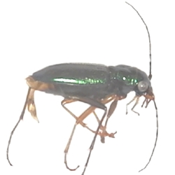 Virginia Metallic Tiger Beetle