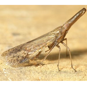 Dictyopharid Planthoppers