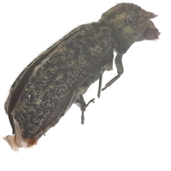 Horned Powder-post Beetle